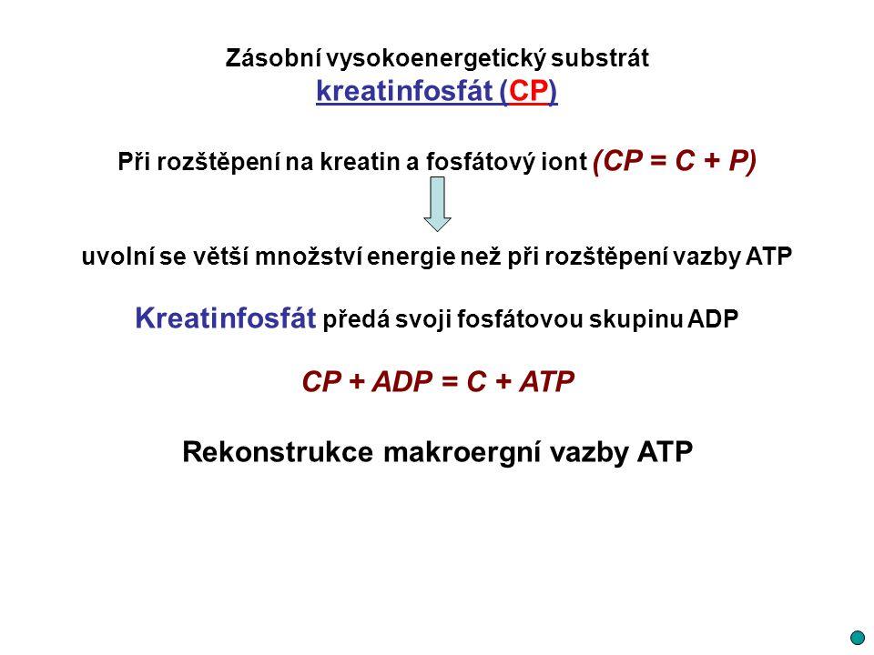 Kreatinfosfát předá svoji fosfátovou skupinu ADP CP + ADP = C + ATP