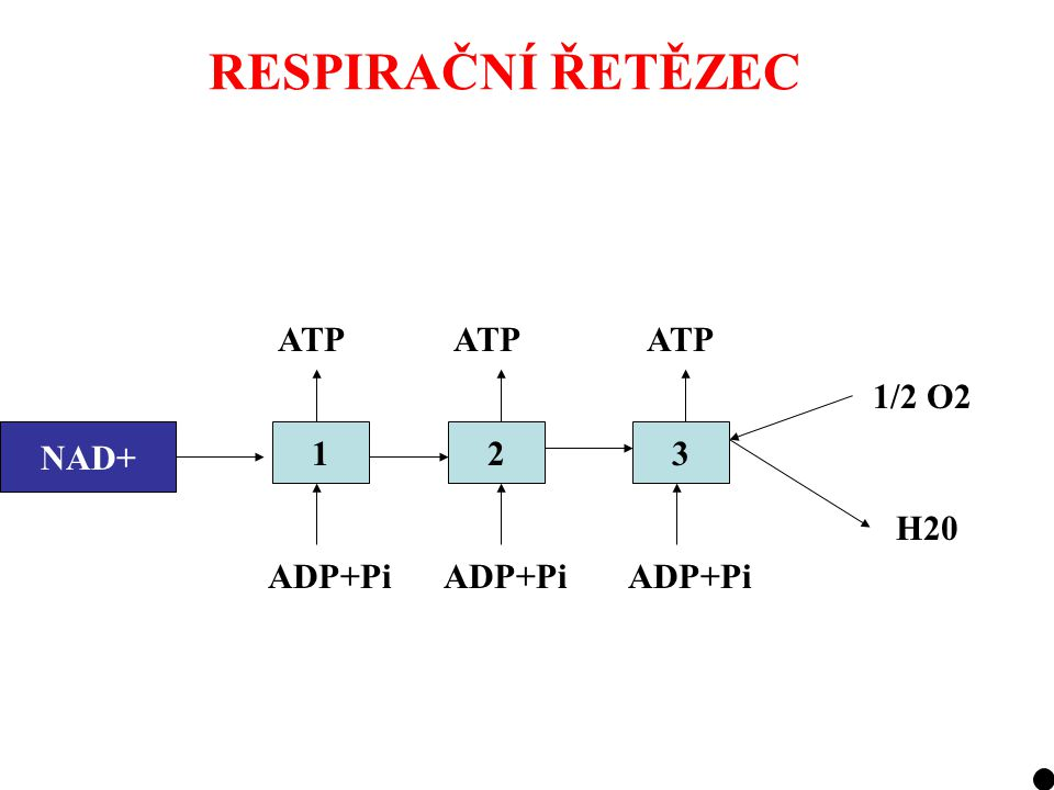 RESPIRAČNÍ ŘETĚZEC ATP ATP ATP 1/2 O2 NADH2 NAD+ 1 2 3 H20 ADP+Pi