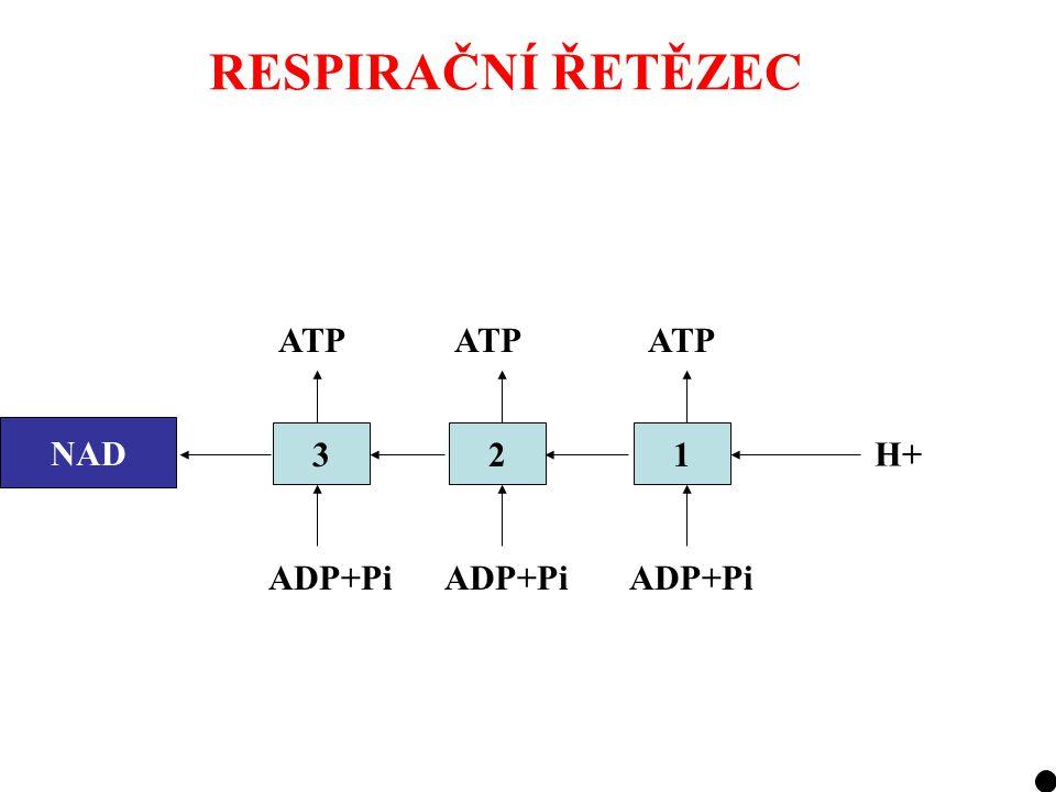 RESPIRAČNÍ ŘETĚZEC ATP ATP ATP NAD NADH 3 2 1 H+ ADP+Pi ADP+Pi ADP+Pi