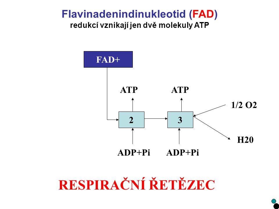 Flavinadenindinukleotid (FAD) redukcí vznikají jen dvě molekuly ATP
