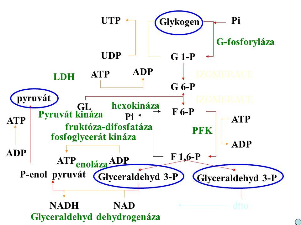 UTP Glykogen. Pi. G-fosforyláza. UDP. G 1-P. ADP. ATP. IZOMERACE. LDH. G 6-P. pyruvát. IZOMERACE.