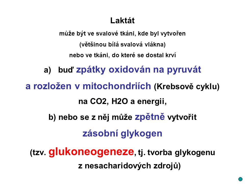 a rozložen v mitochondriích (Krebsově cyklu) zásobní glykogen
