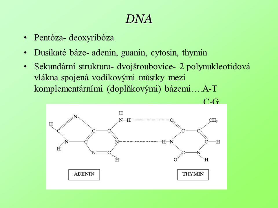 DNA Pentóza- deoxyribóza