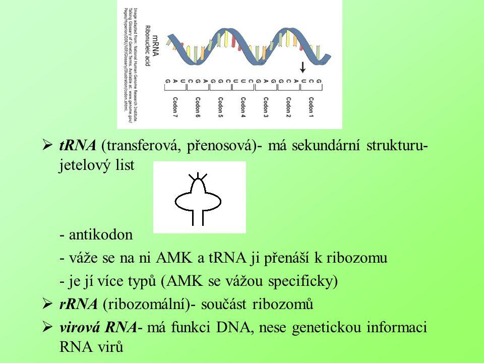tRNA (transferová, přenosová)- má sekundární strukturu- jetelový list