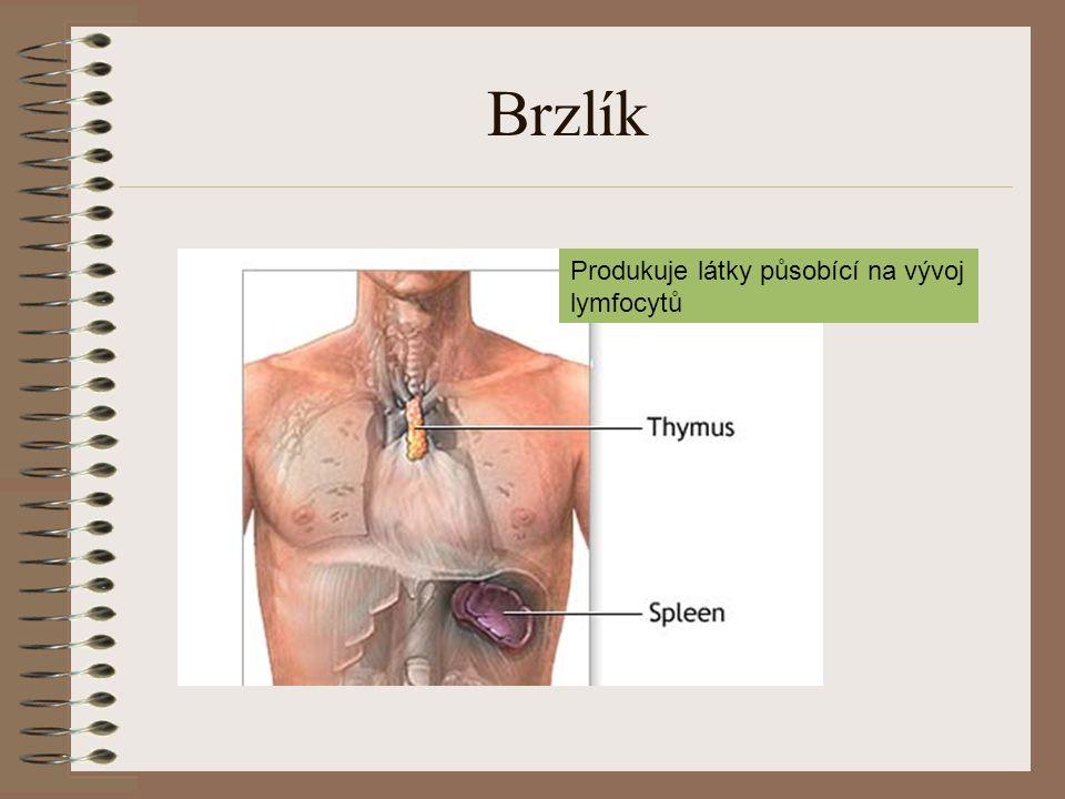 Brzlík Produkuje látky působící na vývoj lymfocytů