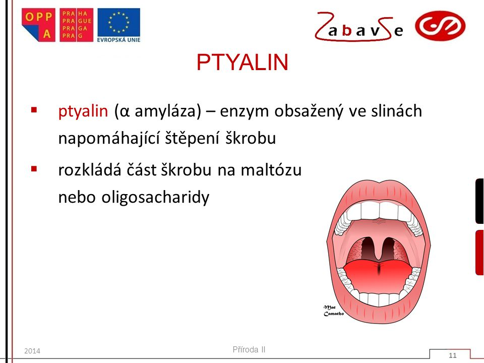 PTYALIN ptyalin (α amyláza) – enzym obsažený ve slinách napomáhající štěpení škrobu. rozkládá část škrobu na maltózu nebo oligosacharidy.