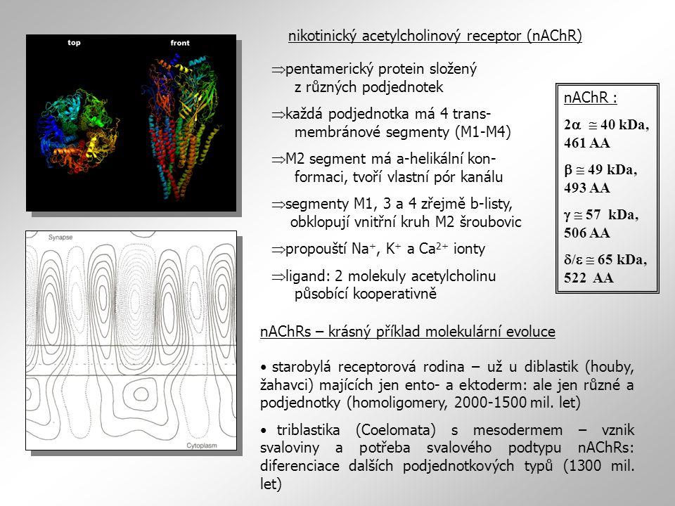 nikotinický acetylcholinový receptor (nAChR)