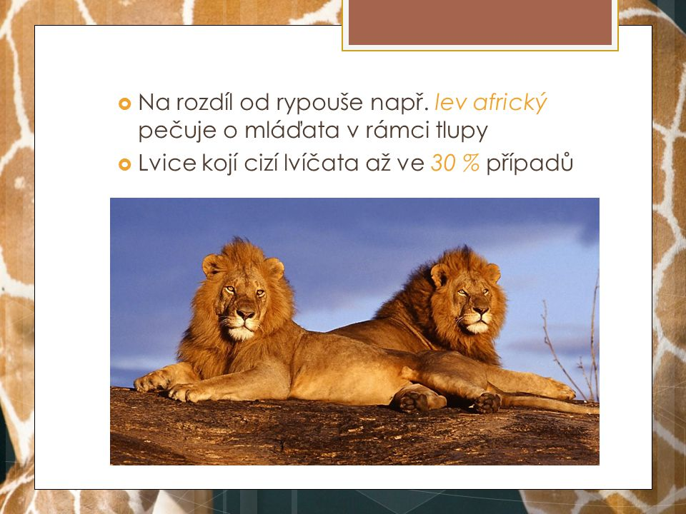 Na rozdíl od rypouše např. lev africký pečuje o mláďata v rámci tlupy