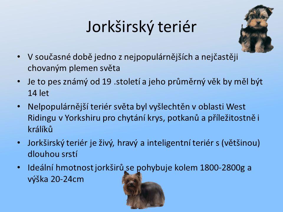 Jorkširský teriér V současné době jedno z nejpopulárnějších a nejčastěji chovaným plemen světa.