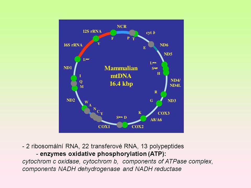 - 2 ribosomální RNA, 22 transferové RNA, 13 polypeptides