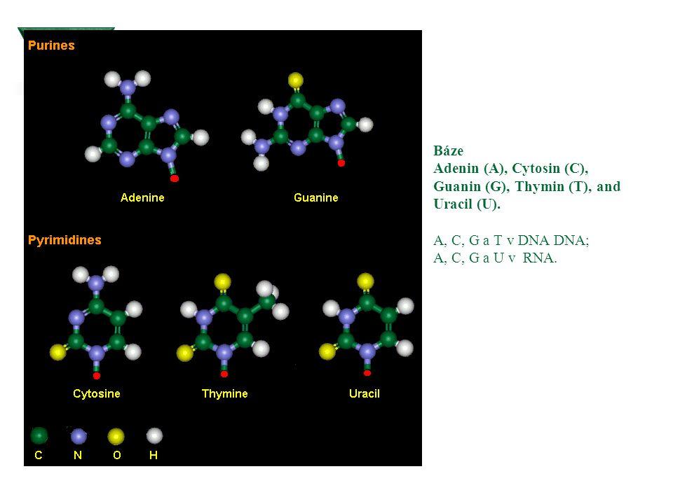 Báze Adenin (A), Cytosin (C), Guanin (G), Thymin (T), and Uracil (U)