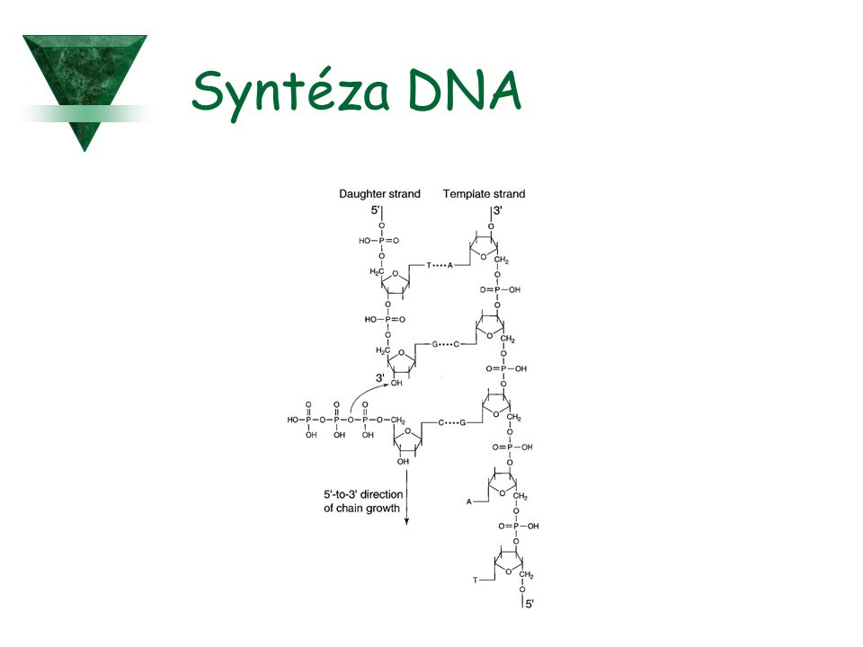 Syntéza DNA