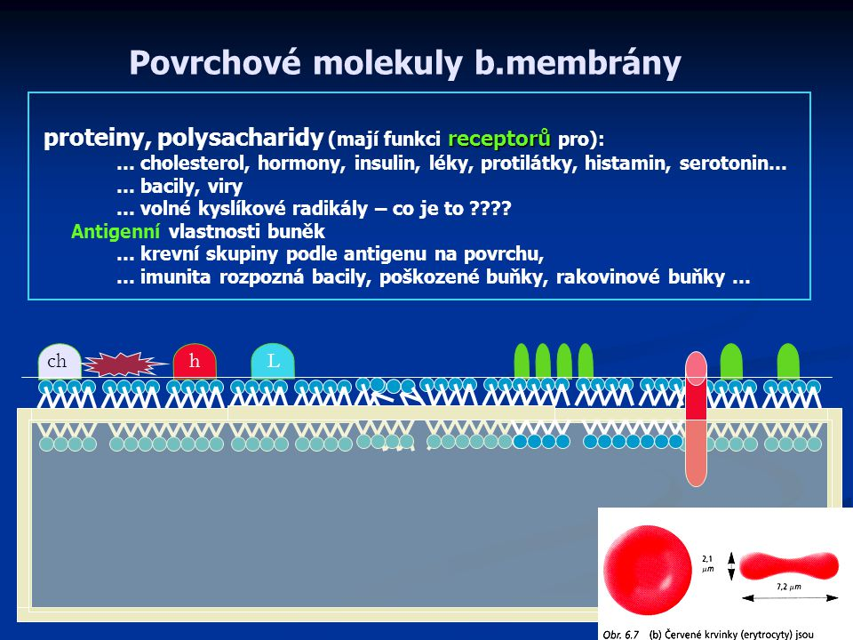 Povrchové molekuly b.membrány