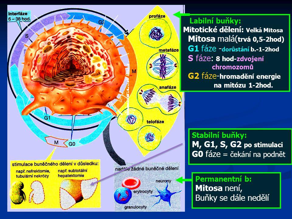 Mitosa malá(trvá 0,5-2hod) G1 fáze -dorůstání b.-1-2hod