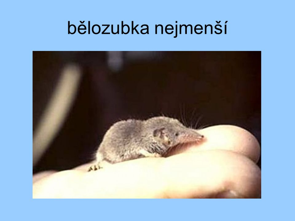 bělozubka nejmenší