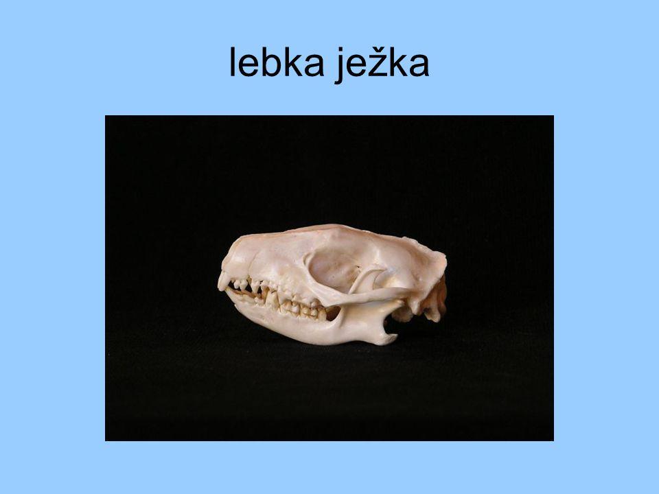 lebka ježka
