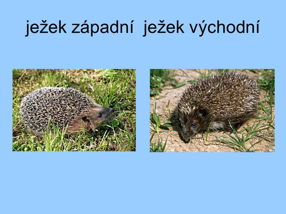 ježek západní ježek východní