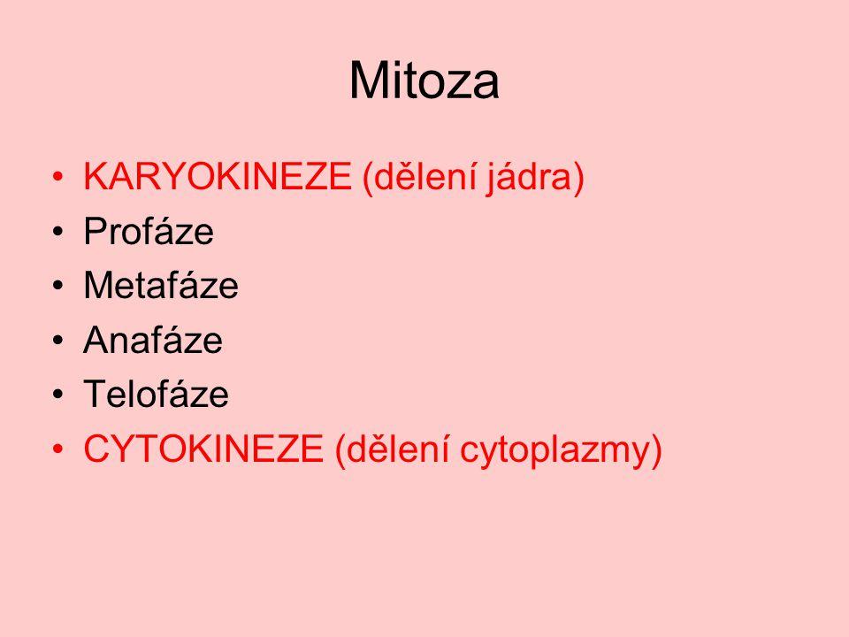 Mitoza KARYOKINEZE (dělení jádra) Profáze Metafáze Anafáze Telofáze