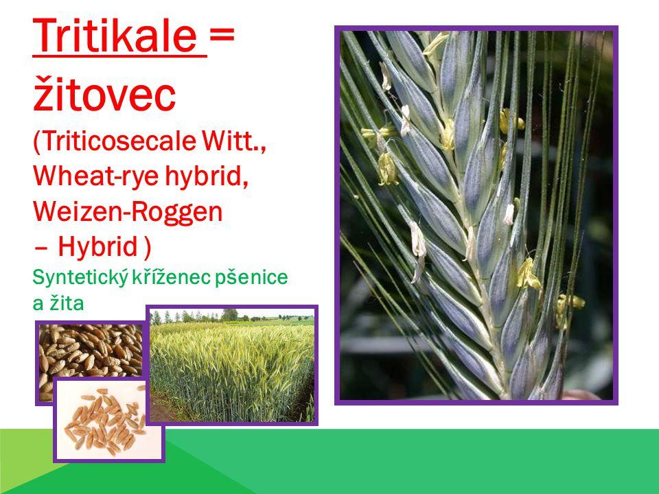 Tritikale = žitovec (Triticosecale Witt., Wheat-rye hybrid,