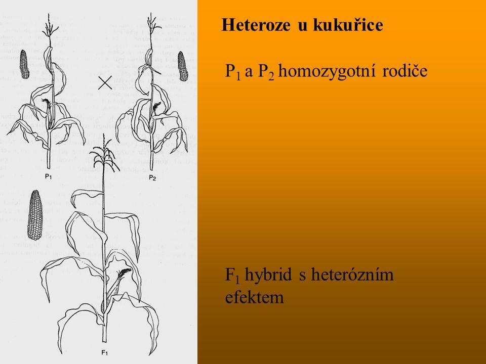 Heteroze u kukuřice P1 a P2 homozygotní rodiče F1 hybrid s heterózním efektem