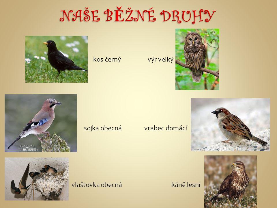 NAŠE BĚŽNÉ DRUHY kos černý výr velký sojka obecná vrabec domácí