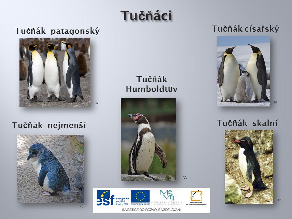 Tučňáci Tučňák císařský Tučňák patagonský Tučňák Humboldtův