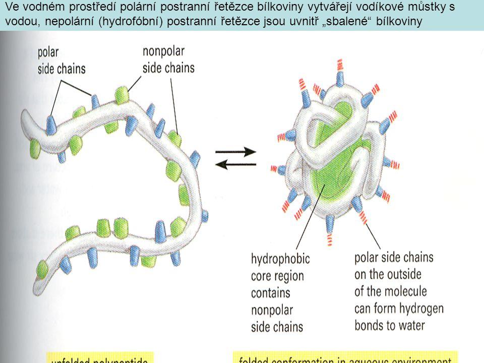 """Ve vodném prostředí polární postranní řetězce bílkoviny vytvářejí vodíkové můstky s vodou, nepolární (hydrofóbní) postranní řetězce jsou uvnitř """"sbalené bílkoviny"""