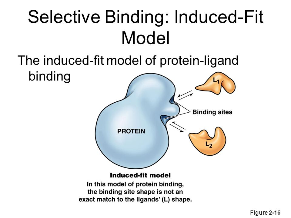 Selective Binding: Induced-Fit Model