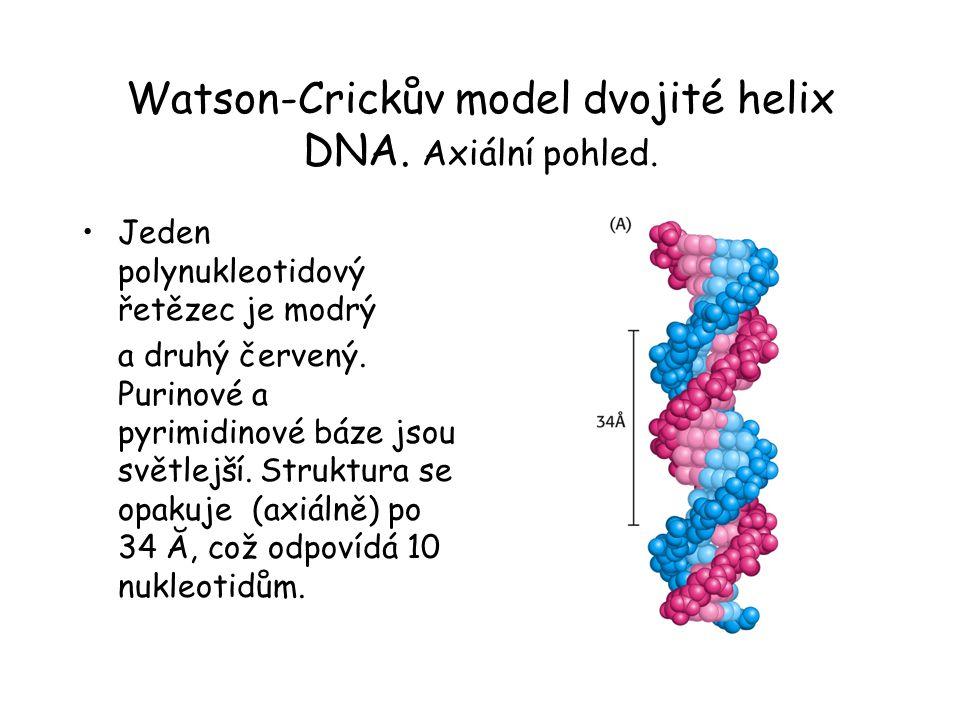 Watson-Crickův model dvojité helix DNA. Axiální pohled.