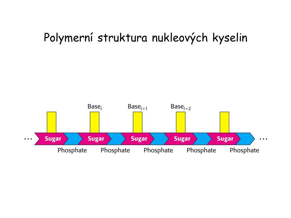 Polymerní struktura nukleových kyselin