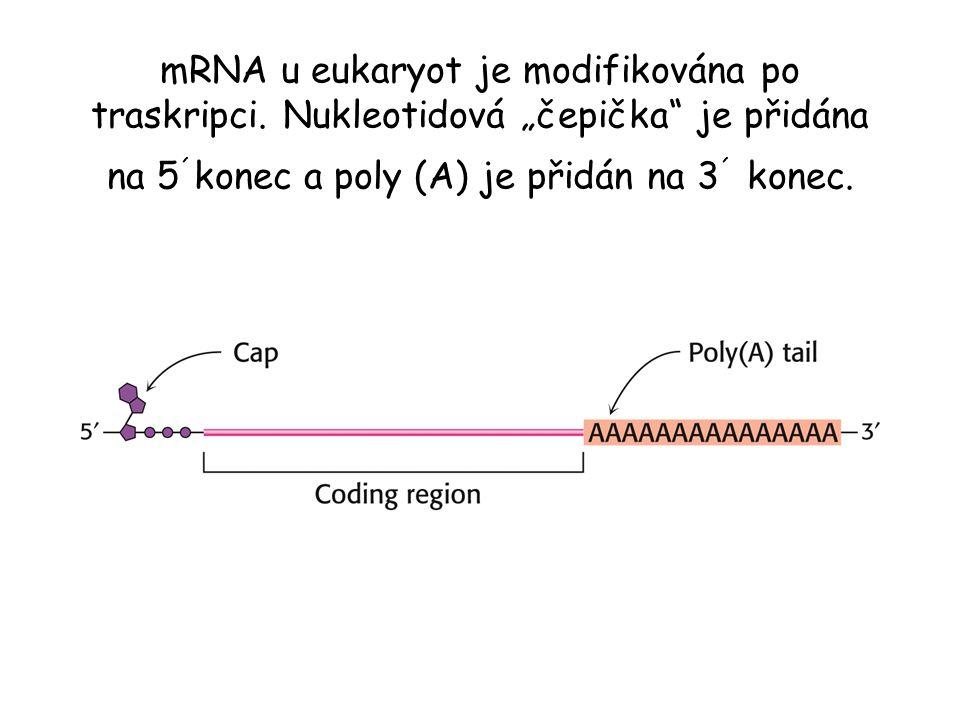 mRNA u eukaryot je modifikována po traskripci