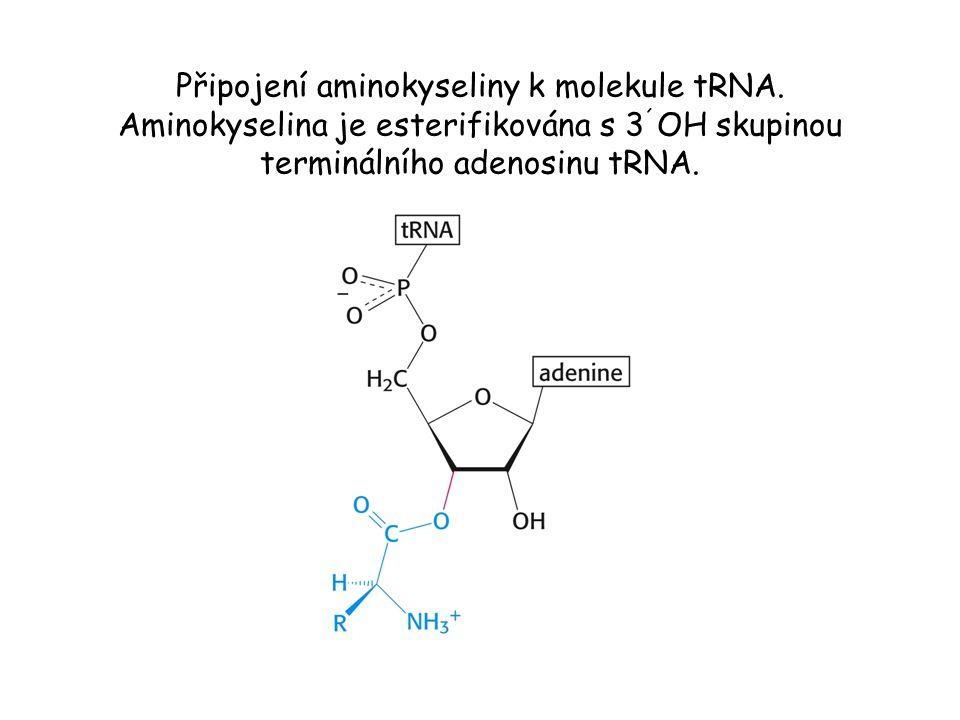 Připojení aminokyseliny k molekule tRNA