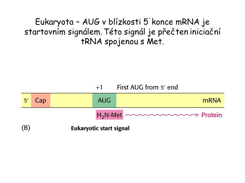 Eukaryota – AUG v blízkosti 5´konce mRNA je startovním signálem