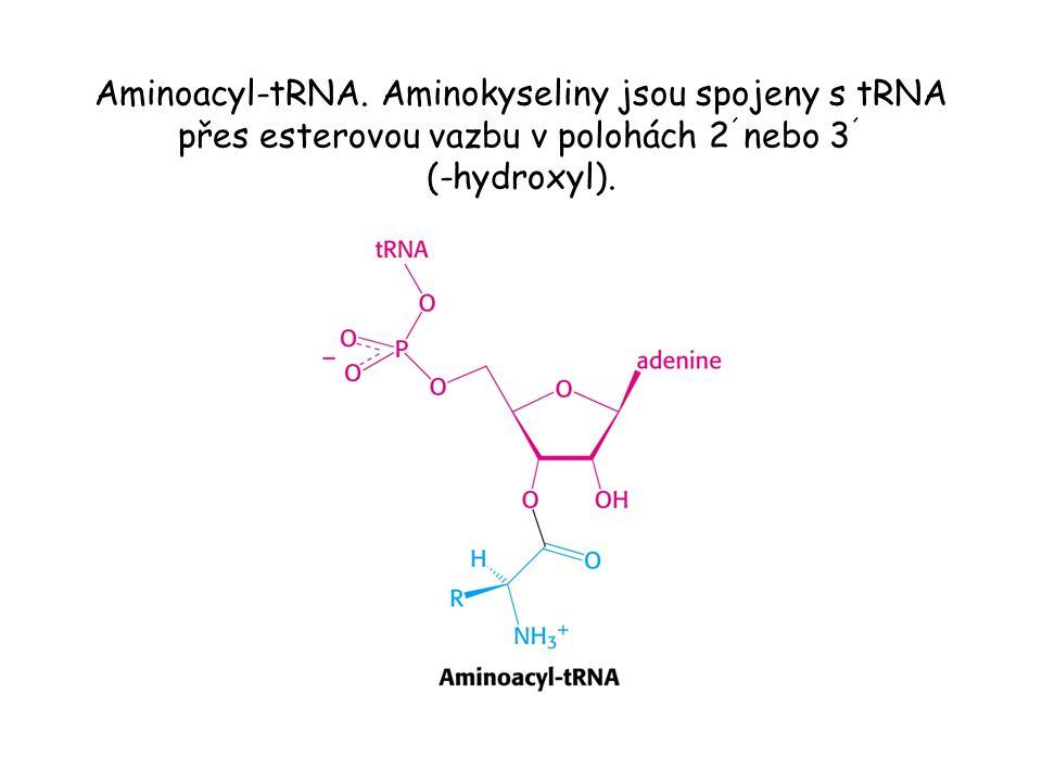 Aminoacyl-tRNA.