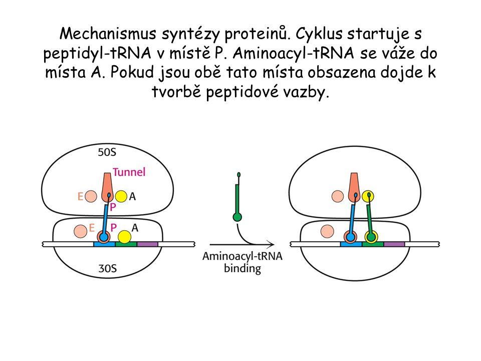 Mechanismus syntézy proteinů. Cyklus startuje s peptidyl-tRNA v místě P.