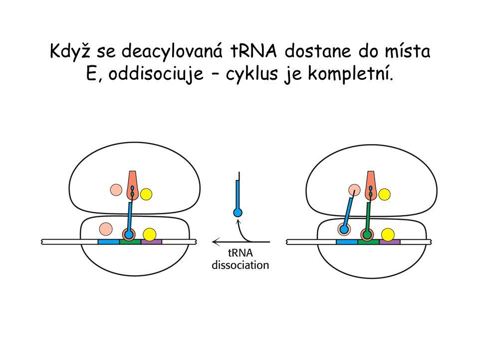 Když se deacylovaná tRNA dostane do místa E, oddisociuje – cyklus je kompletní.