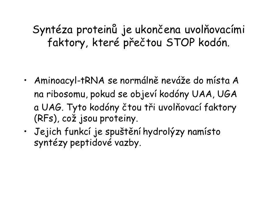 Syntéza proteinů je ukončena uvolňovacími faktory, které přečtou STOP kodón.