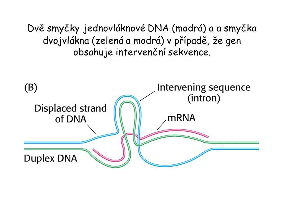 Dvě smyčky jednovláknové DNA (modrá) a a smyčka dvojvlákna (zelená a modrá) v případě, že gen obsahuje intervenční sekvence.