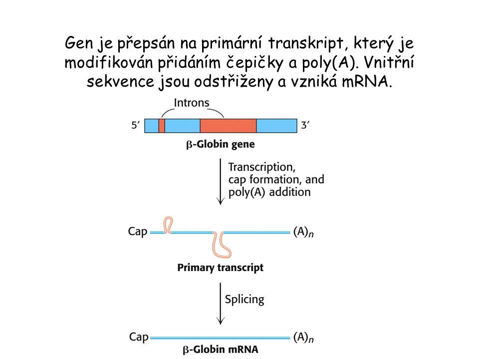Gen je přepsán na primární transkript, který je modifikován přidáním čepičky a poly(A).