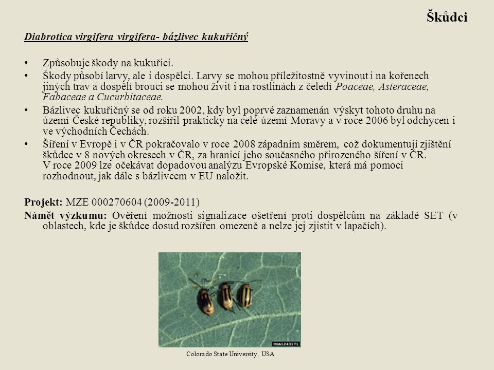Škůdci Diabrotica virgifera virgifera- bázlivec kukuřičný
