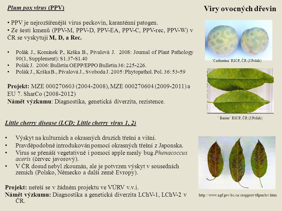 Viry ovocných dřevin Plum pox virus (PPV)