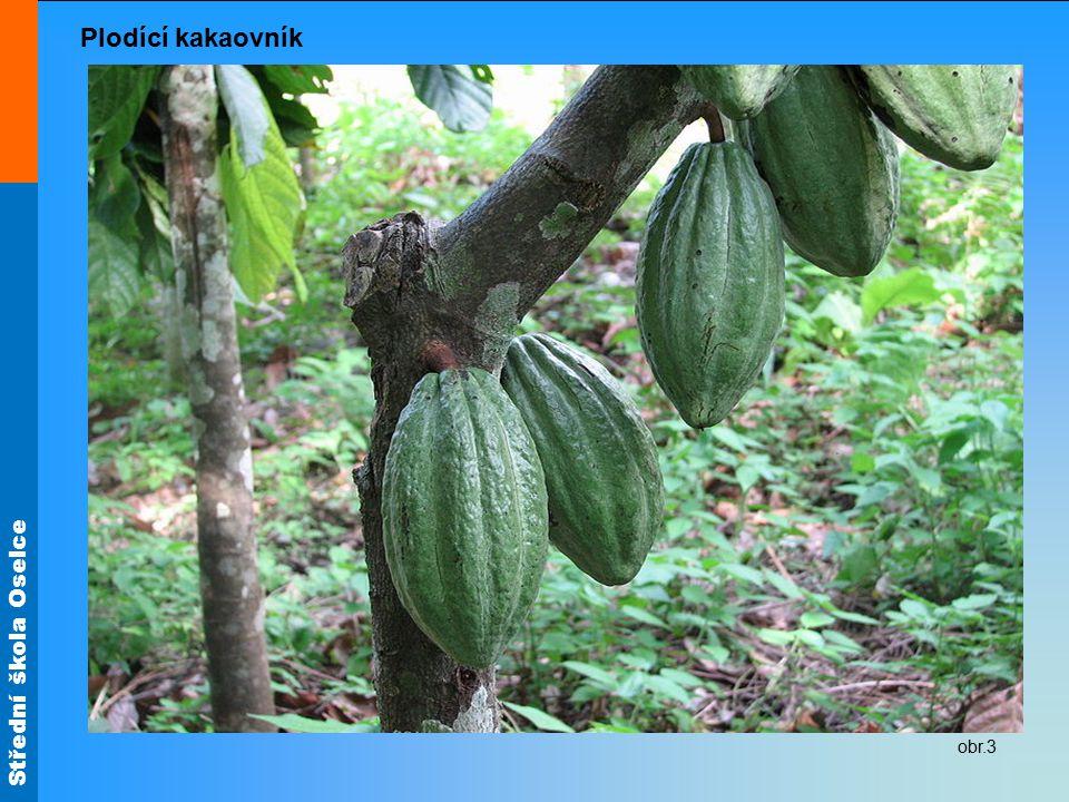 Plodící kakaovník obr.3