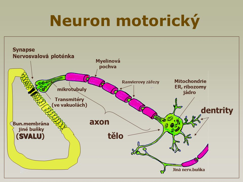 Neuron motorický dentrity axon tělo (SVALU) Synapse