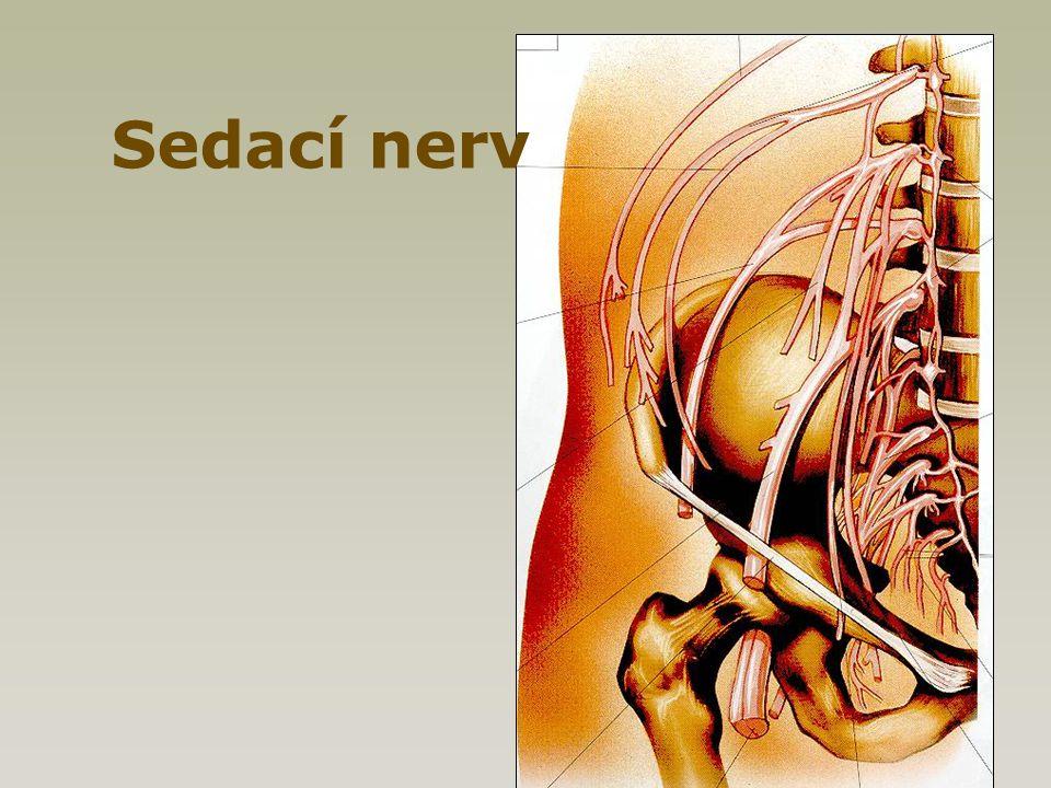 Sedací nerv