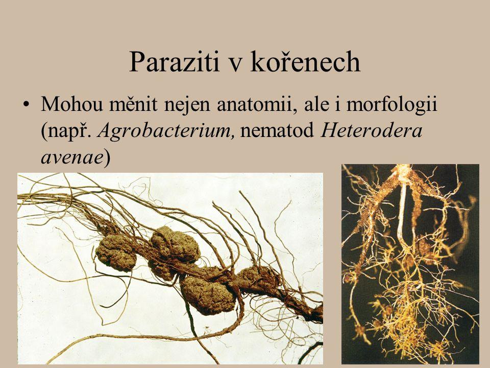 Paraziti v kořenech Mohou měnit nejen anatomii, ale i morfologii (např.