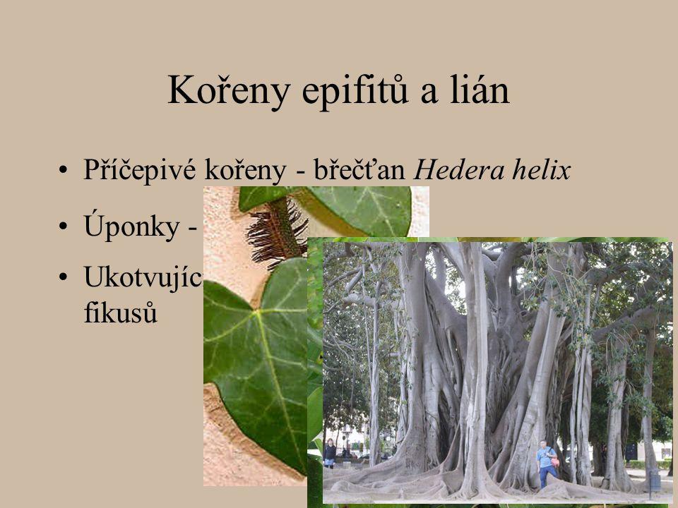 Kořeny epifitů a lián Příčepivé kořeny - břečťan Hedera helix