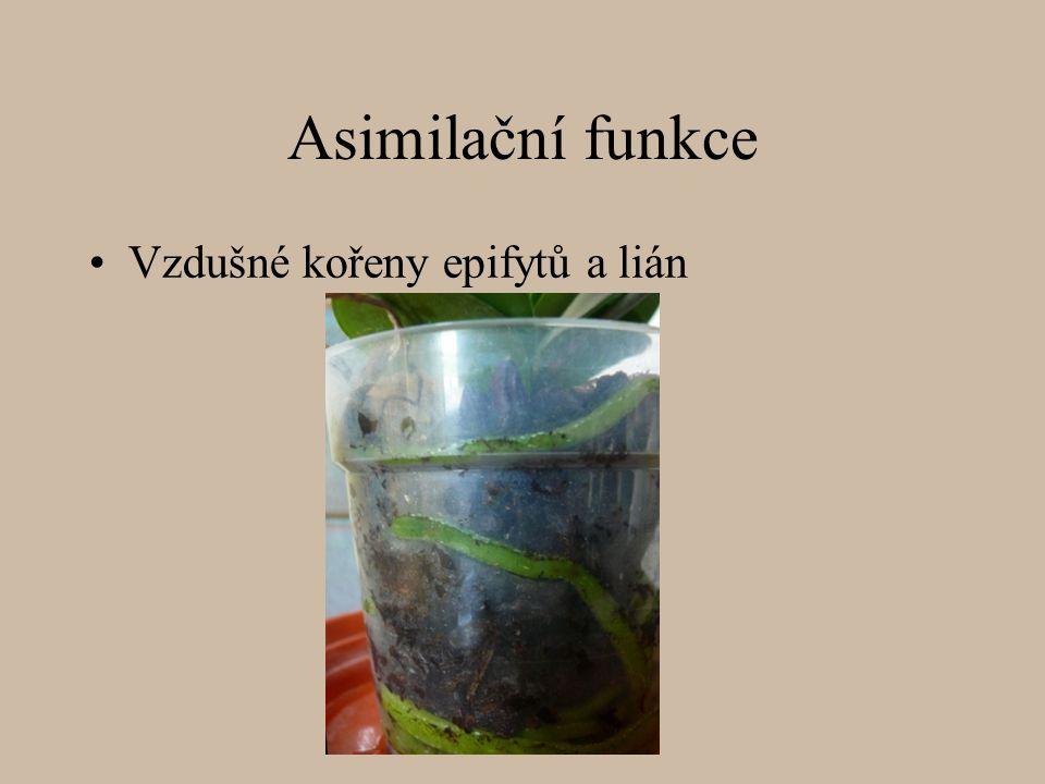 Asimilační funkce Vzdušné kořeny epifytů a lián