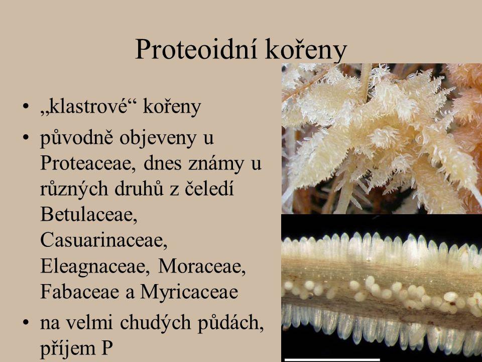 """Proteoidní kořeny """"klastrové kořeny"""