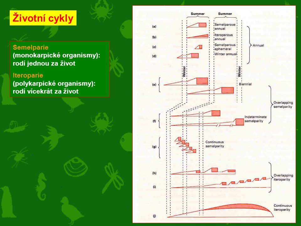 Životní cykly Semelparie (monokarpické organismy): rodí jednou za život.