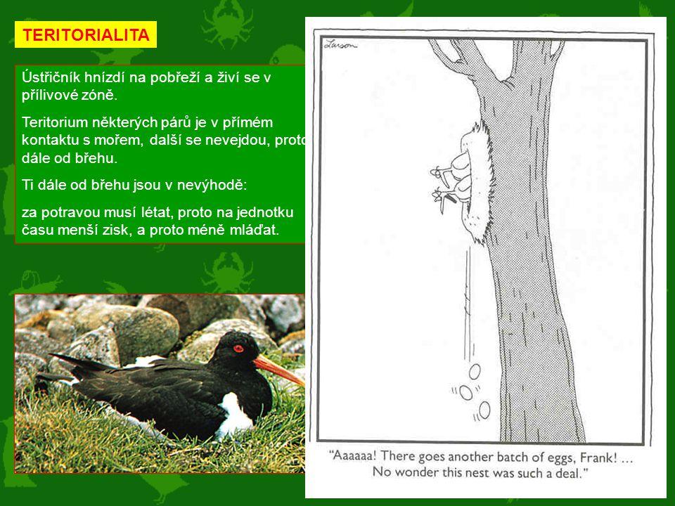 TERITORIALITA Ústřičník hnízdí na pobřeží a živí se v přílivové zóně.